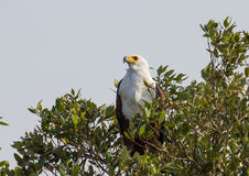 African fish eagle on a tree at the ISimangaliso Wetland Park. South Africa Royalty Free Stock Photos