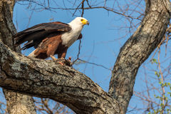 A small flie. African fish eagle in a tree with its prey Royalty Free Stock Photos