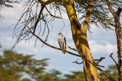 African Fish Eagle on a tree, Kenya Royalty Free Stock Photography