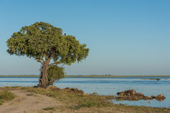 African fish eagle in tree beside river Stock Image