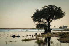 African fish eagle in tree on riverbank Royalty Free Stock Photos