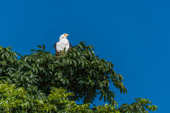 African fish eagle in treetop in sunshine Royalty Free Stock Images