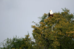 African Fish Eagle in Uganda, Africa Stock Images