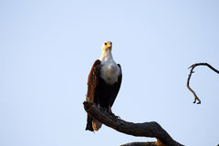 African Fish Eagle Royalty Free Stock Image