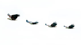 African Fish-eagles in mid flight Stock Photo