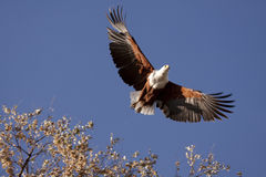 African Fisheagle flying in Botswana. African Fisheagle flying after it's prey Stock Photo