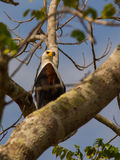 African Fisheagle Stock Image