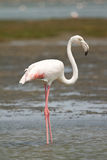 African Flamingo Stock Photography