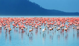 African flamingos stock photography