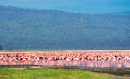 African flamingos Stock Photo