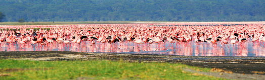 African flamingos Royalty Free Stock Image