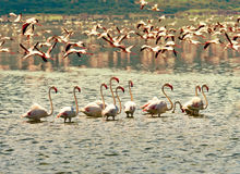 African flamingos Stock Image