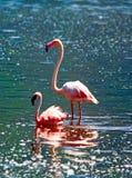 African flamingos Royalty Free Stock Photo