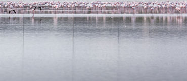 African flamingos in the lake over beautiful sunset, flock of ex Stock Image