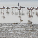 African flamingos in the lake over beautiful sunset, flock of ex Royalty Free Stock Photography