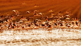 African flamingos on sunset Stock Images