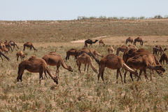 African fleet of camels Royalty Free Stock Images