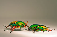African Flower Beetles. A male and a female african flower beetle Stock Photos