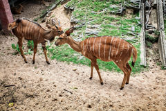 African forest antelope species. Royalty Free Stock Photography