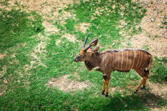 African forest antelope species. Stock Images
