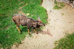African forest antelope species. Stock Photography