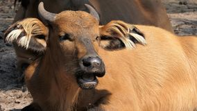 African forest buffalo royalty free stock photos