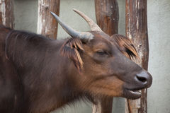 African forest buffaloes (Syncerus caffer nanus) Stock Image