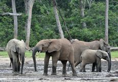 African Forest Elephant, Loxodonta africana cyclotis, of Congo Basin. At the Dzanga saline (a forest clearing) Central African Re Stock Images