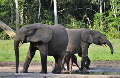 The African Forest Elephant, Loxodonta africana cyclotis, (forest dwelling elephant) of Congo Basin. At the Dzanga saline Royalty Free Stock Photo