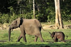 The African Forest Elephant, Loxodonta africana cyclotis, (forest dwelling elephant) of Congo Basin. At the Dzanga saline Stock Image