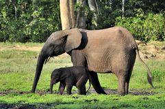 The African Forest Elephant, Loxodonta africana cyclotis, (forest dwelling elephant) of Congo Basin. At the Dzanga saline Stock Photos