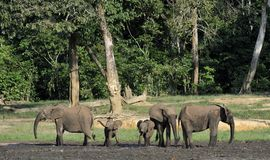The African Forest Elephant, Loxodonta africana cyclotis, (forest dwelling elephant) of Congo Basin. At the Dzanga saline. (a forest clearing) Central African stock photo