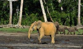 The African Forest Elephant, Loxodonta africana cyclotis, (forest dwelling elephant) of Congo Basin. At the Dzanga saline Royalty Free Stock Image