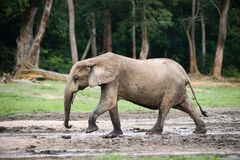 African Forest Elephant ( Loxodonta cyclotis). The African Forest Elephant (Loxodonta cyclotis) is a forest dwelling elephant of the Congo Basin stock image