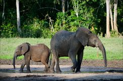 African Forest Elephants. Stock Photos