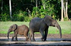 African Forest Elephants. Stock Photos