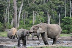 African Forest Elephants, Loxodonta africana cyclotis Stock Photography