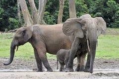 African Forest Elephants, Loxodonta africana cyclotis, Stock Photos