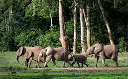 African Forest Elephants ( Loxodonta cyclotis). The African Forest Elephant (Loxodonta cyclotis) is a forest dwelling elephant of the Congo Basin royalty free stock photos