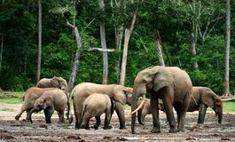 African Forest Elephants ( Loxodonta cyclotis). The African Forest Elephant (Loxodonta cyclotis) is a forest dwelling elephant of the Congo Basin royalty free stock photo