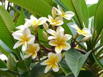 African frangipani Royalty Free Stock Images