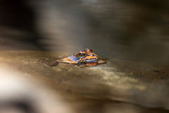 African frog in the river. African drakensberg frog in the river royalty free stock image