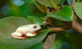 African frog in tree Stock Photo