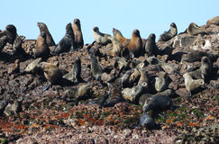 African Fur Seals. A breeding colony of African Fur Seals on a small island in South Africa Stock Photos