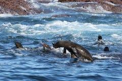 African Fur Seals in the Indian Ocean Stock Photo