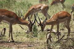 African gazelle Stock Photography