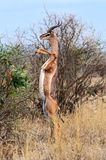African gazelle gerenuk royalty free stock photo