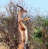 African gazelle gerenuk royalty free stock photos