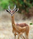 African gazelle gerenuk Royalty Free Stock Photo