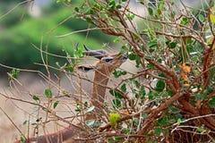 African gazelle gerenuk Royalty Free Stock Image